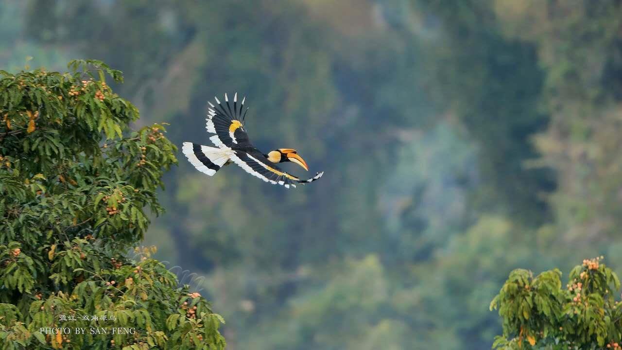 盈江-双角犀鸟