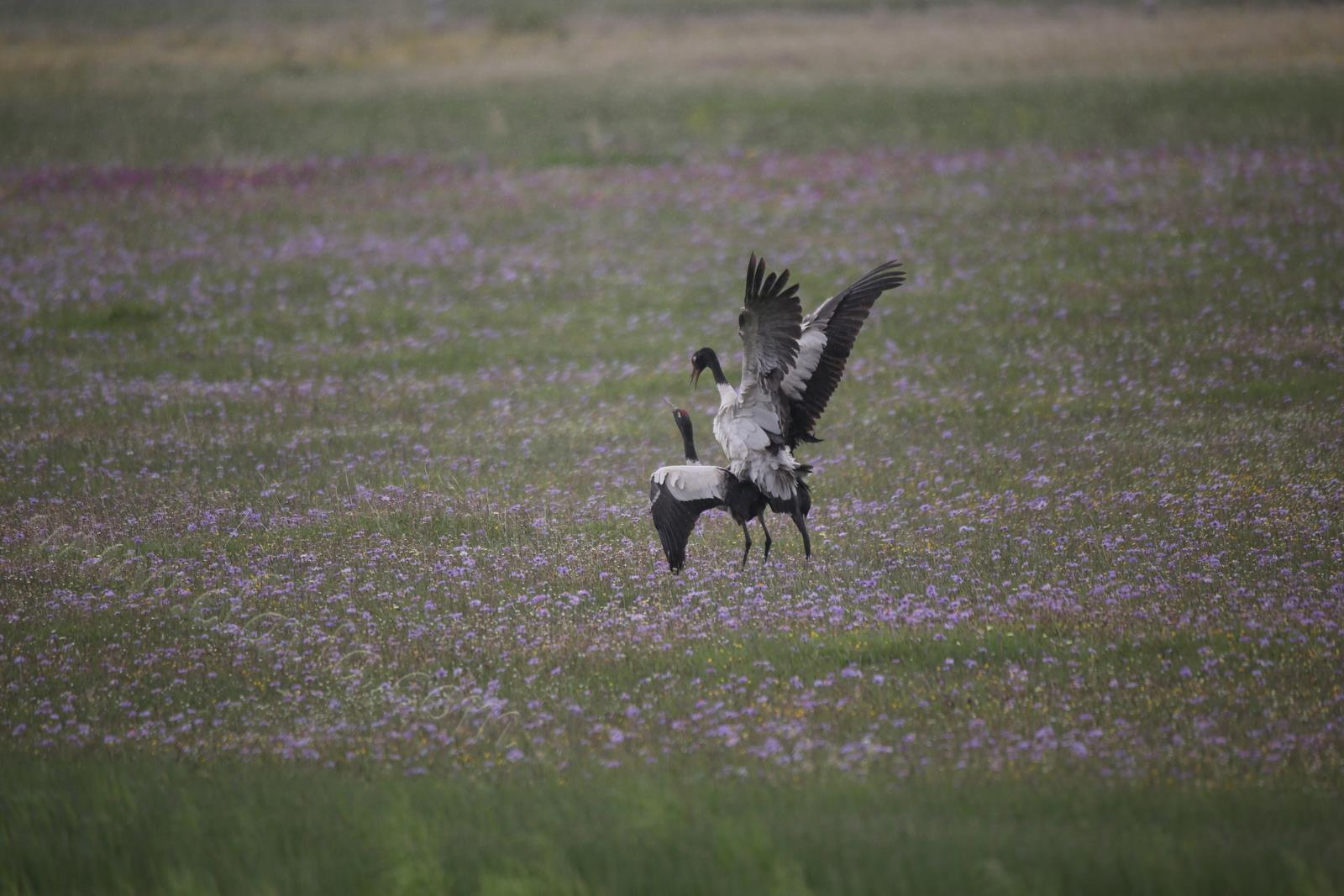 黑颈鹤:交配