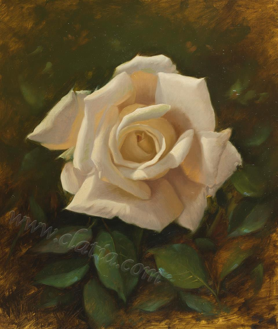 white rose  35 x 40 oil on ACM