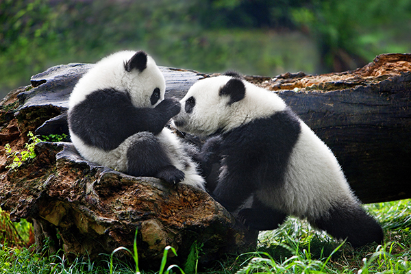 拍摄大熊猫二十多年,周孟棋与滚滚的不解之缘